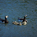 Barnacle Goose by Jouko Lehto