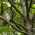 Barred Owl by Thomas R Fletcher