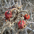 Beach Rose Hips - Rosa Rugosa by Mother Nature