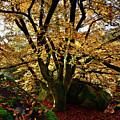 Beech Tree by Olivier Blaise