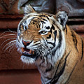 Bengal Tiger by Bruce Beck