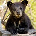 Black Bear Cub by Mary Jo Cox