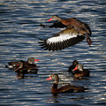 Black-bellied Whistling Duck by Ronald Lutz