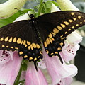 Black Swallowtail Butterfly by Joanne Young
