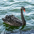 Black Swan by FL collection