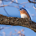 Blue Bird by John Johnson
