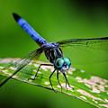 Blue Dasher by Bill Dodsworth