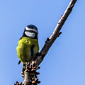 Blue Tit by Nigel Dudson