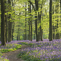 Bluebell Wood by Liz Pinchen