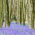 Bluebells by Colin Rayner