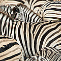 Burchells Zebras Equus Quagga by Panoramic Images