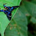 Butterfly by Bert Mailer
