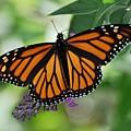Butterfly by Jo-Ann  Matthews