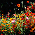 California Golden Poppies Eschscholzia by Panoramic Images
