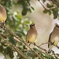 3 Cedar Waxwings  by Terry DeLuco