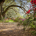 Charlston Sc - Magnolia Plantations And Garden by Jason Penland