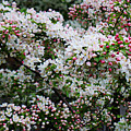 Cherry Blossoms by Adam Asar