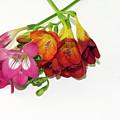 Colorful Freesia by Elvira Ladocki