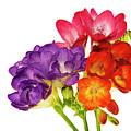Colorful Freesias by Elvira Ladocki