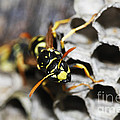 Common Wasp Vespula Vulgaris by Gerard Lacz