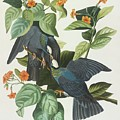 Crowned Pigeon by John James