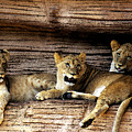 3 Cubs by Don Prioleau