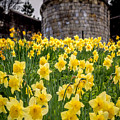 Daffodils And Bar Walls, York, Uk. by Bailey Cooper Photography