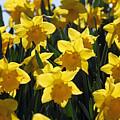 Daffodils In The Sunshine by Julia Gavin