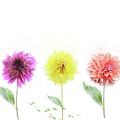 Dahlia Flowers  by Svetlana Foote