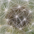 Dandelion Close-up. by Wael Alreweie