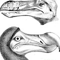 Dodo Bird, Hunted To Extinction by Biodiversity Heritage Library