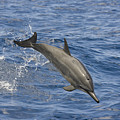 Dolphins Leaping by Dave Fleetham - Printscapes