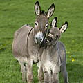 Donkey Mother And Young by Jean-Louis Klein and Marie-Luce Hubert