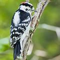 Downy Woodpecker  by Ricky L Jones