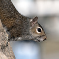Eastern Gray Squirrel by Allan  Hughes