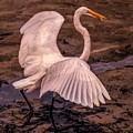 Egret With Fish by Paulette Thomas