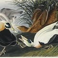 Eider Duck by John James