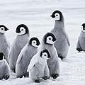 Emperor Penguin Chicks by Jean-Louis Klein & Marie-Luce Hubert
