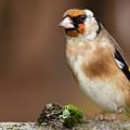 European Goldfinch Bird Close Up   by Simon Bratt Photography LRPS
