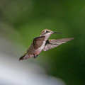 Female Ruby Throated Hummingbird by Brenda Jacobs