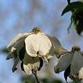 Flowering Dogwood by Michael Munster