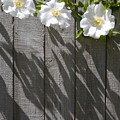 3 Flowers On The Fence by Charlie Osborn