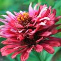 Fuchsia Pink Zinnia From The Whirlygig Mix by J McCombie