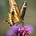 Giant Swallowtail Butterfly by Karen Adams