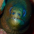 Golden Moray Eel by Nina Banks