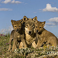 Gray Wolf And Cubs by Jean-Louis Klein & Marie-Luce Hubert
