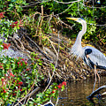 Great Blue Heron by Ben Graham