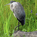Great Blue Heron by Mandy Myers