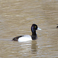 3 Greater Scaup  4060 by Jack Schultz