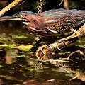 Green Heron by Matt Suess